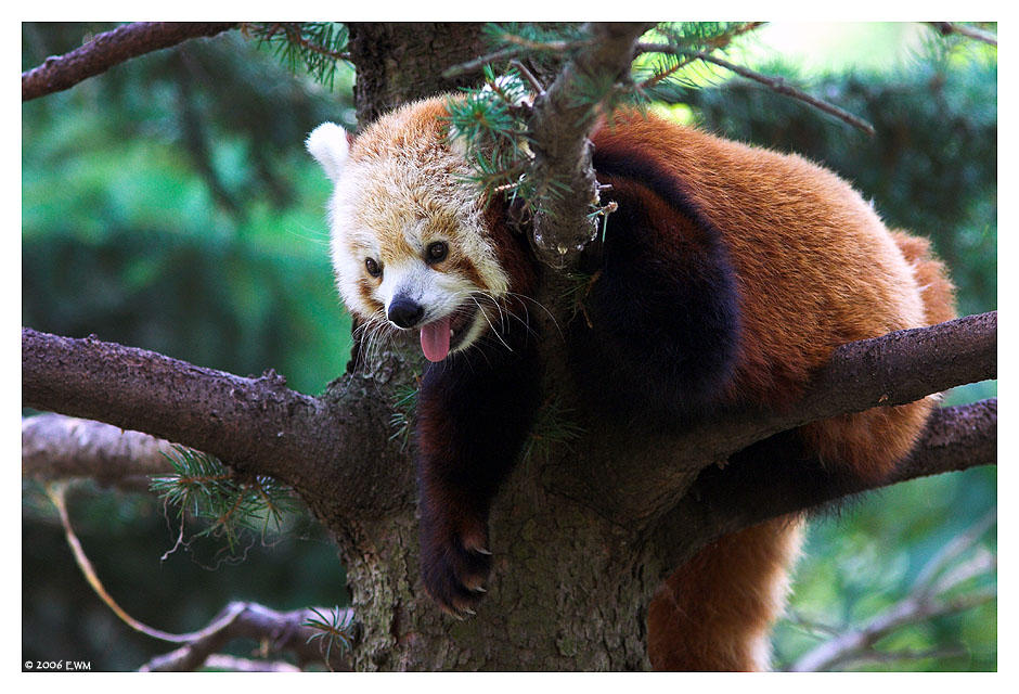 Relaxed Red Panda by ewm