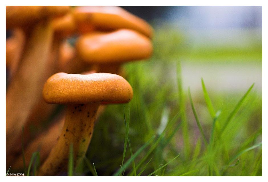Jack o'lantern mushroom by ewm