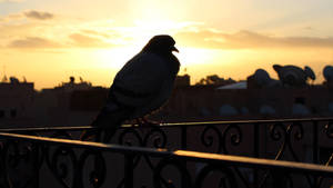 Prolific pigeon