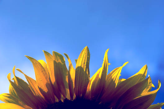 Sunflower and rindrops