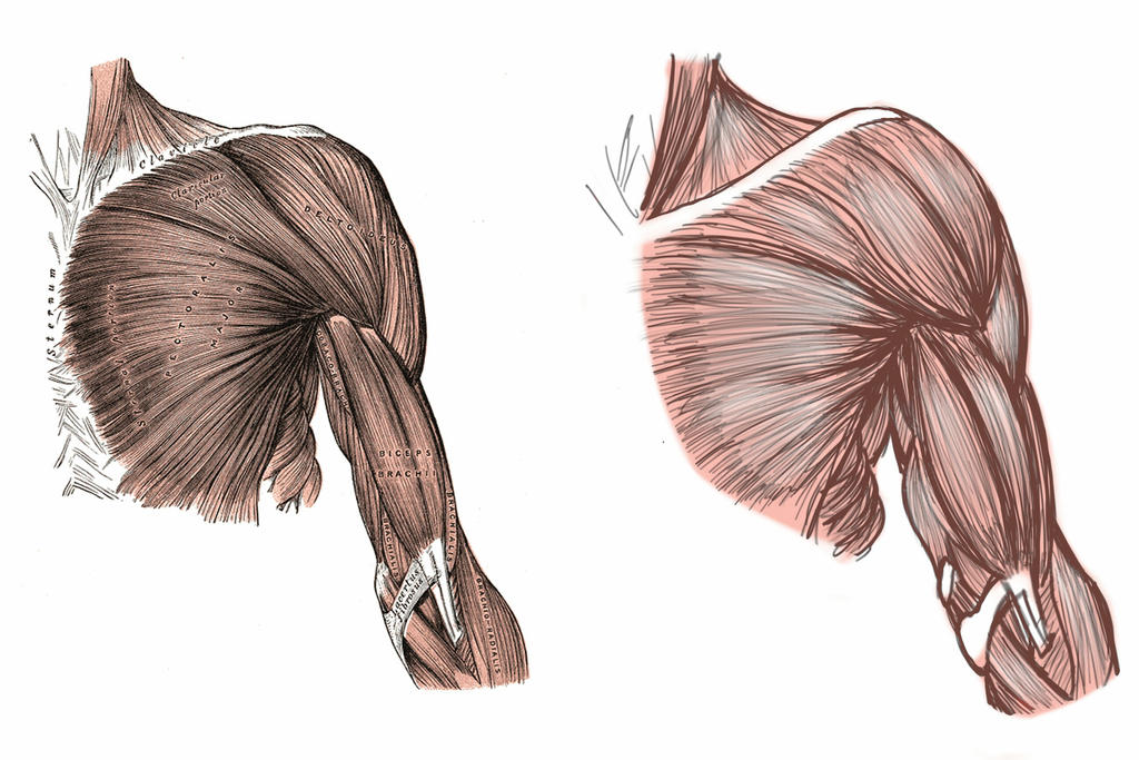 ANATOMY - Shoulder and Bicep Muscles by AvatarBR on DeviantArt