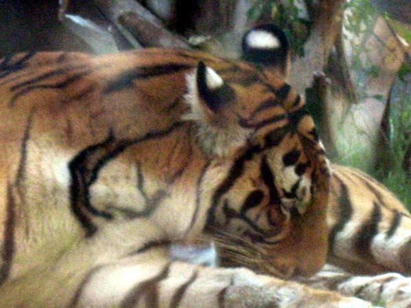 Tigers by wiazard7