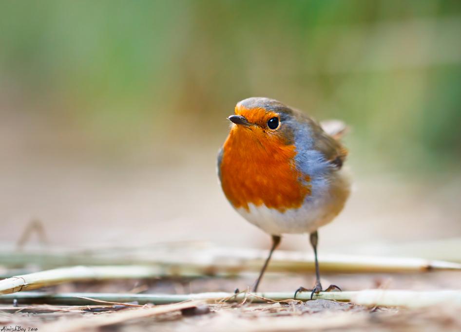 Close up Robin by AimishBoy