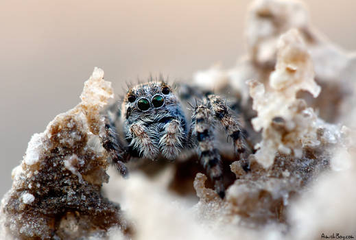Salty Spider