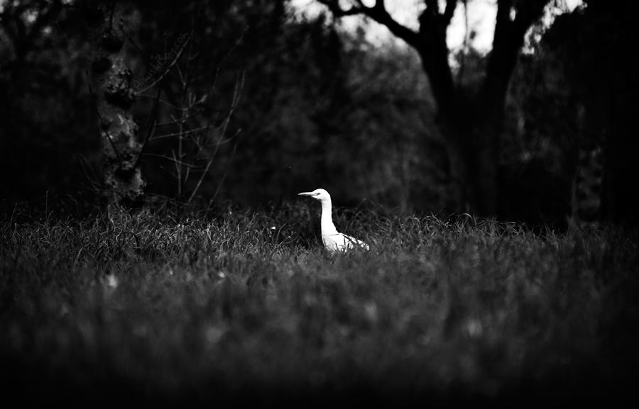 Egretta by AimishBoy