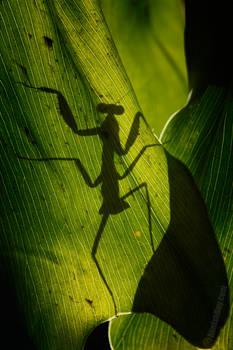 Miniskirt Mantis