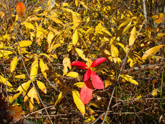 Fall Leaves - red among yellow. by Trail-er