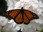Monarch Butterfly on Hydrangea by Trail-er