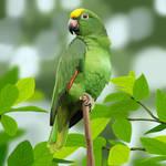 Yellow Head Amazon Parrot (No Texture)