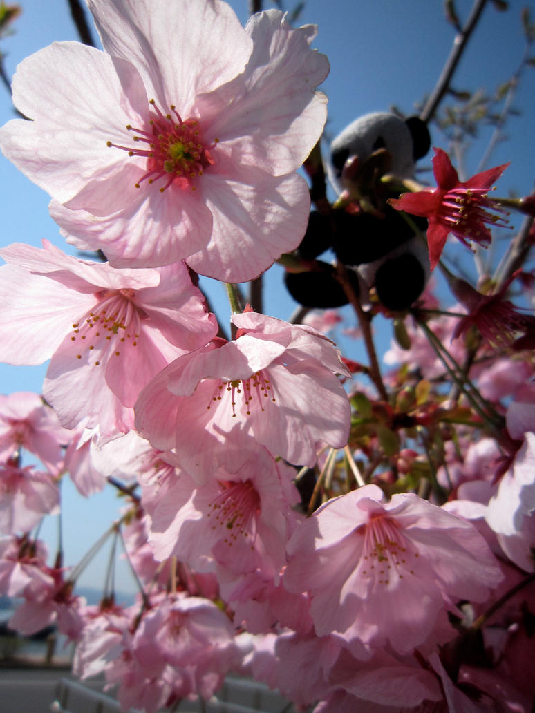Cherry Blossoms by Elliums