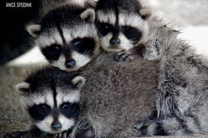 Baby Raccoon's by InADream