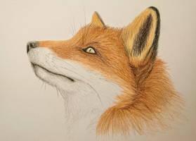 Fox Practise Drawing