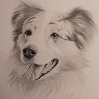 Dog Portrait Drawing - Australian Shepherd