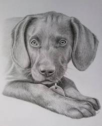 Dog Portrait Graphite Comission #1