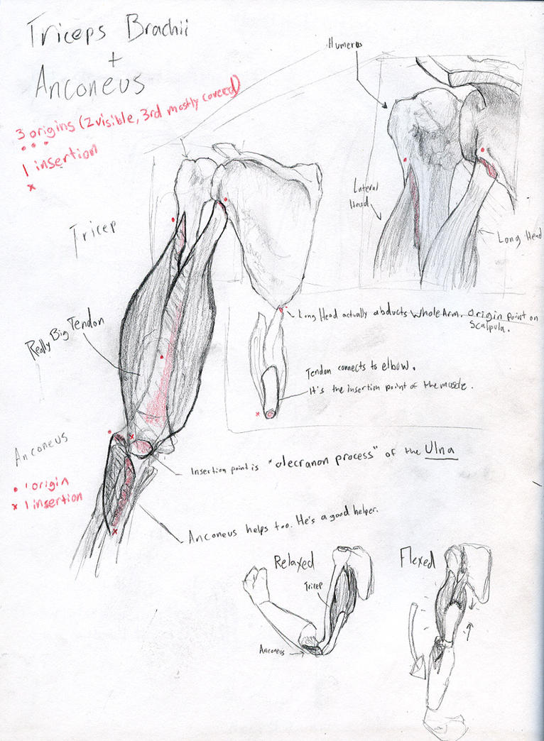 ARM MUSCLES TUTORIAL - TRICEPS/ANCONEUS by CAPPSLOCK on DeviantArt