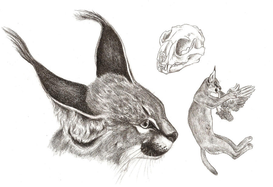 Caracal drawing - photo#14
