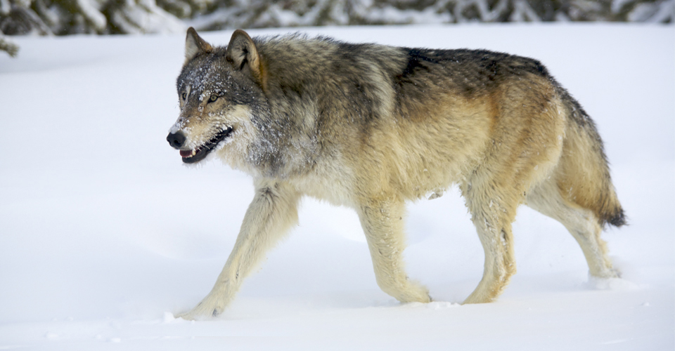 2a-Wolves-photo-holdsworth by Ahkward