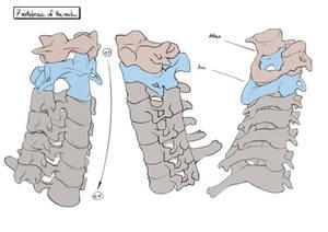 7 vertebrae of the neck - perspective view