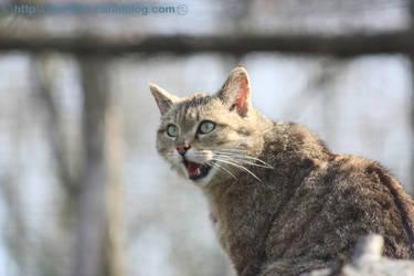 Gordon's wildcats in Parcs des Felins In France by akar091