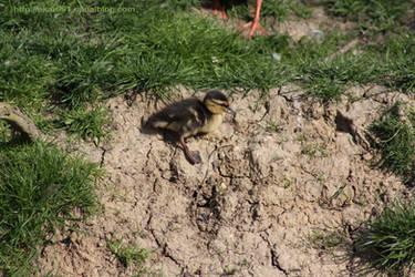 duckling by akar091