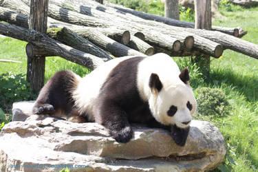 Panda poses by akar091