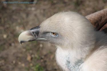 vulture by akar091