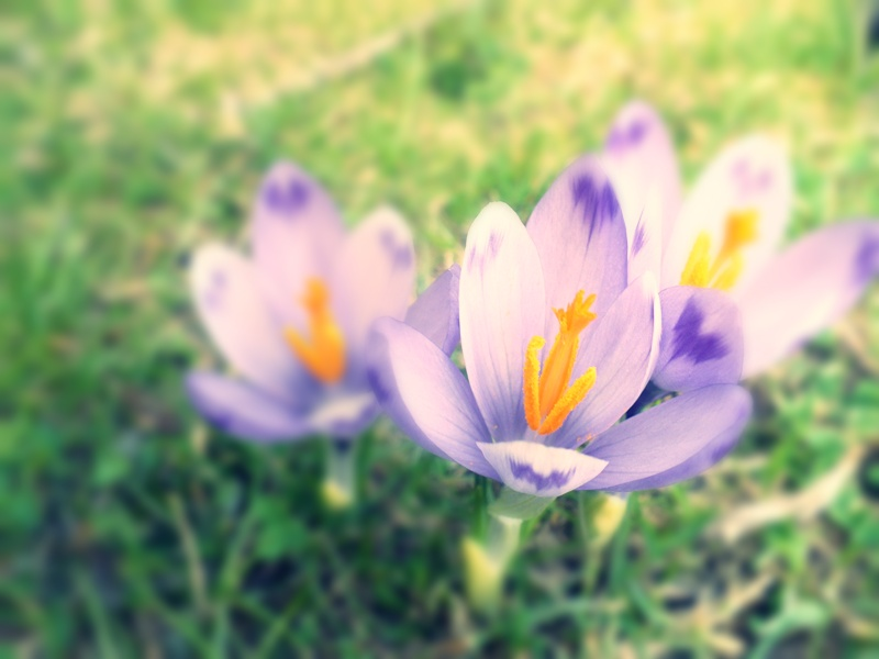 crocus by 3divine