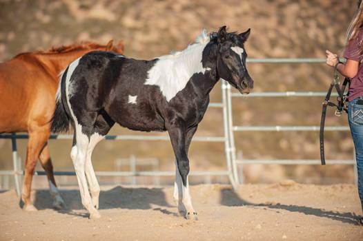 DWP FREE HORSE STOCK 681