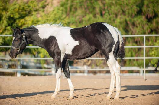 DWP FREE HORSE STOCK 684