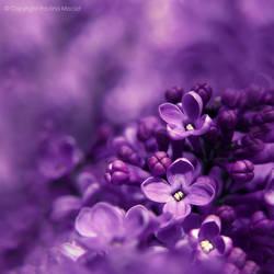 lilac. by impatienss
