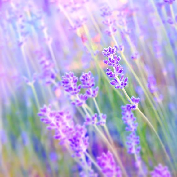 lavender by impatienss