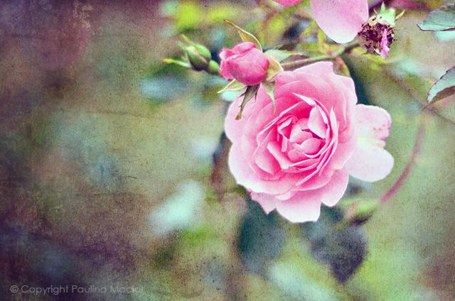rose by impatienss