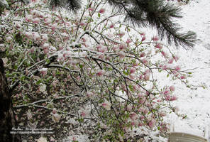 Magnolia in snow by NelEilis