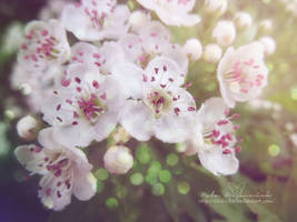 Cherry blossom by NelEilis