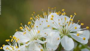 Prune flower