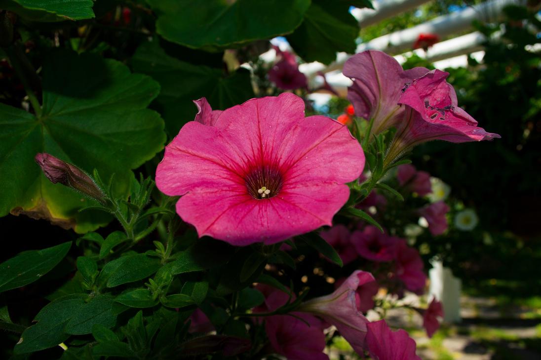 Ipomoea purpurea morning glory by morsoth on deviantart for Ipomea purpurea
