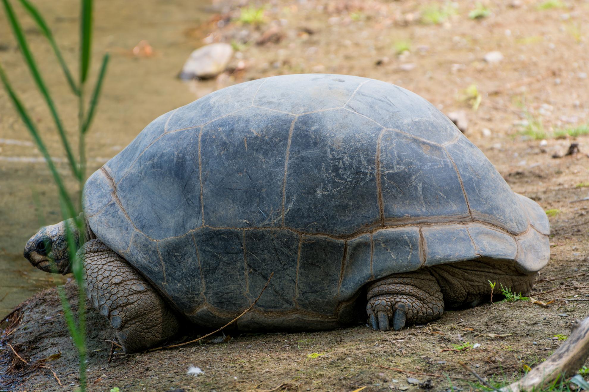 Full grown aldabra tortoise