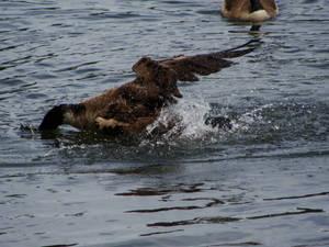 Goose Fishing
