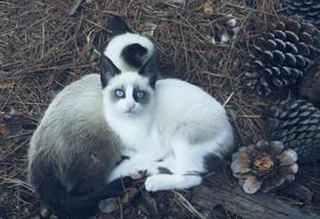 Tristana, the blue eyed kitten by aeli9