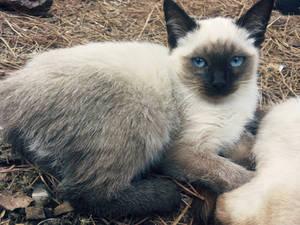 Buho - owl cat