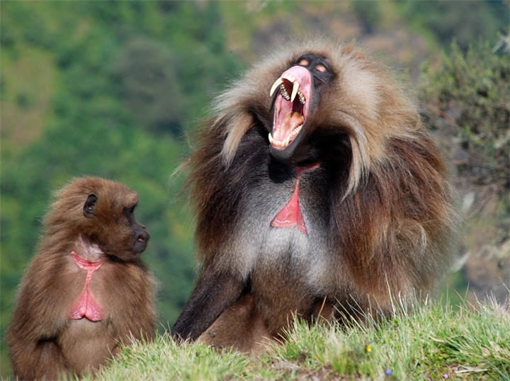 gelada_theropithecus_gelada_by_diamondno