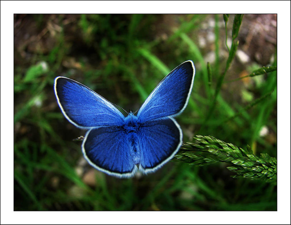 Blue butterfly by VictorLEM