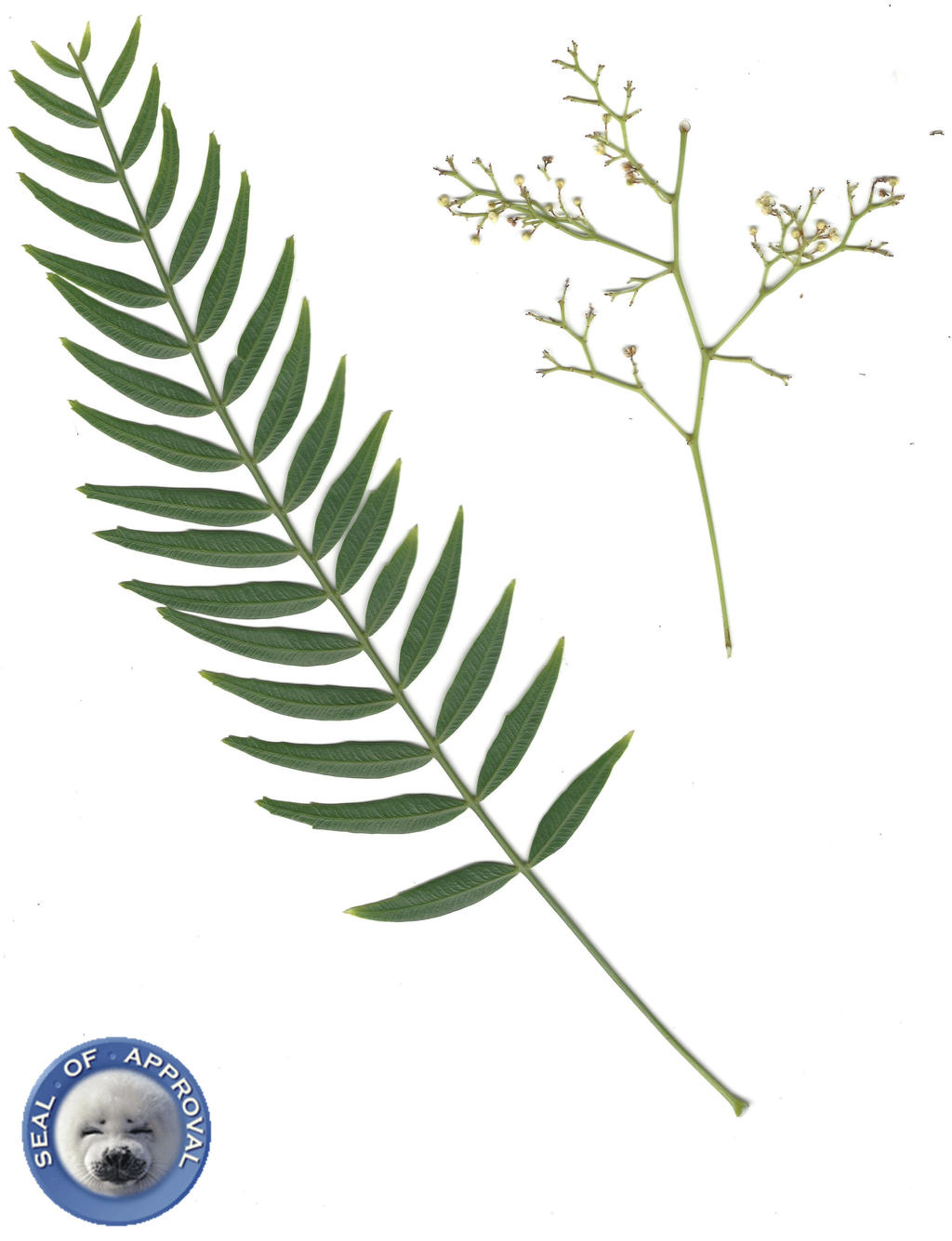 nature scans pepper tree leaves and by matthewandkatlayn on