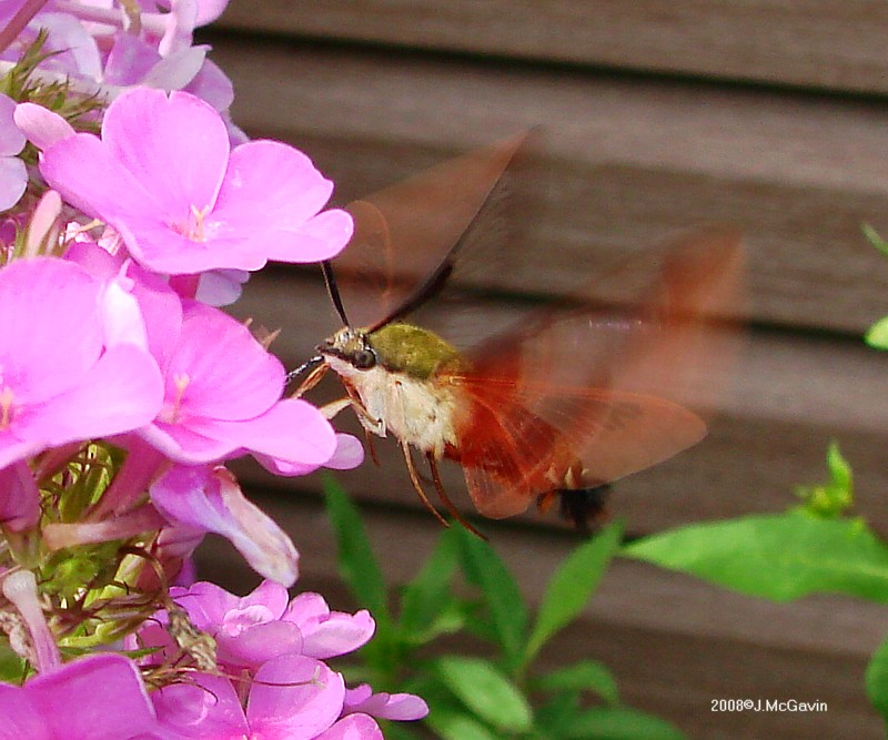 Hummingbird Clearwing 1 by seto2112