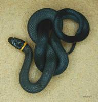 Northern Ringneck Snake 3 by seto2112