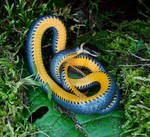 E Ringneck Snake May 30 2