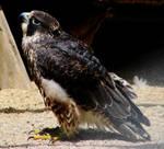 Peregrine Falcon 2