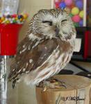 Saw Whet Owl 1