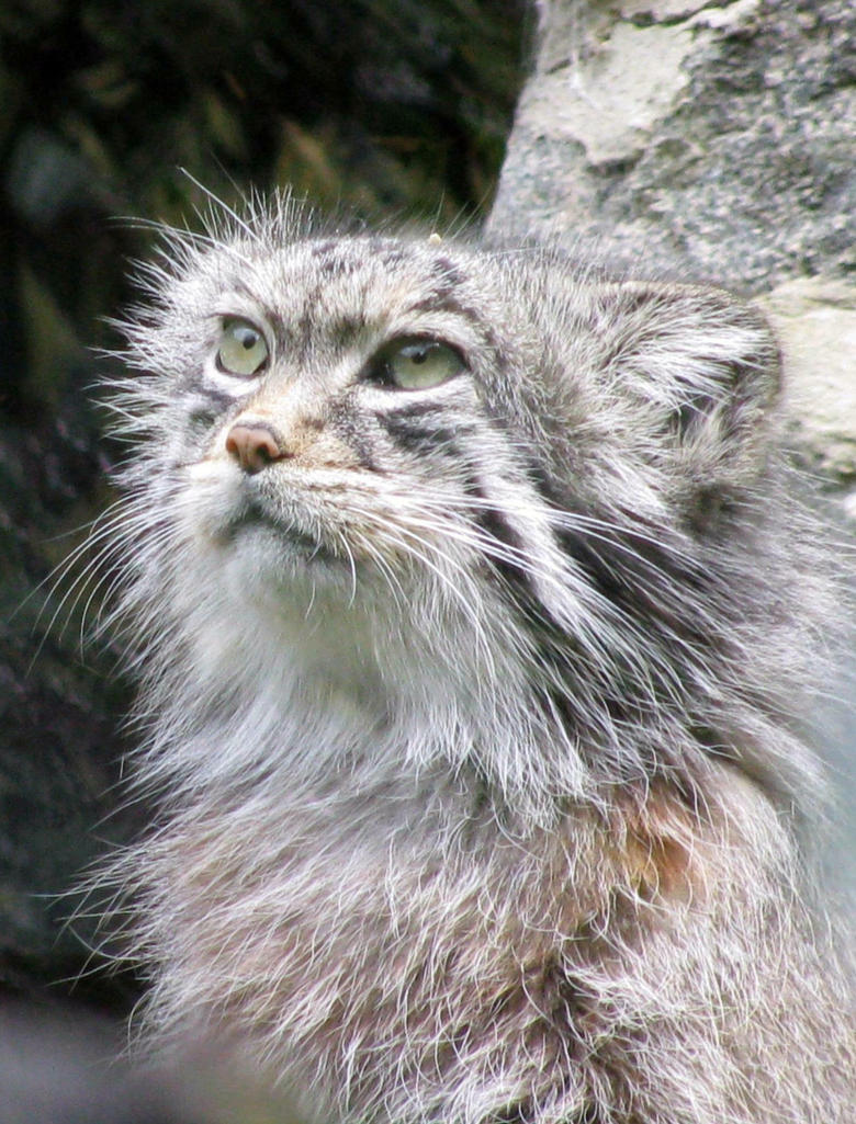 Pallas's cat by CatsWire