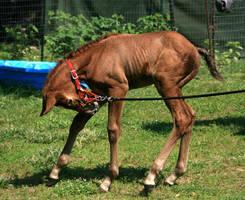 Warmblood Foal .:Stock:. by Photopolis